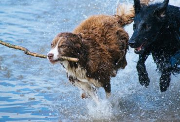 dogs-1246588_960_720