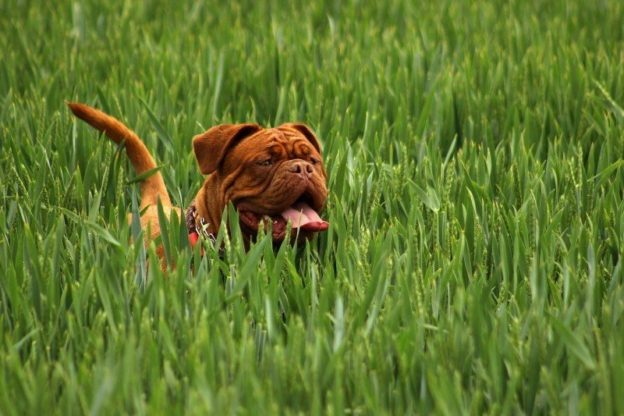 happy-mastiff-in-grass